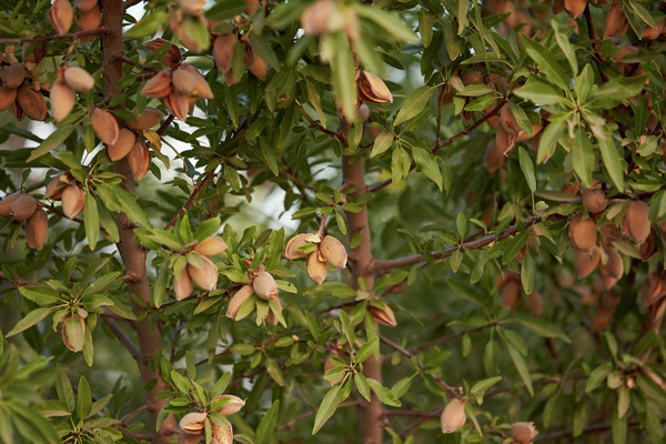 almonds hanging in a tree